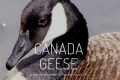 Canada Geese Tickets - Off-Off-Broadway