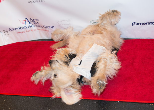<p>A canine star rolls around on the red carpet.</p><br />(© Allison Stock)