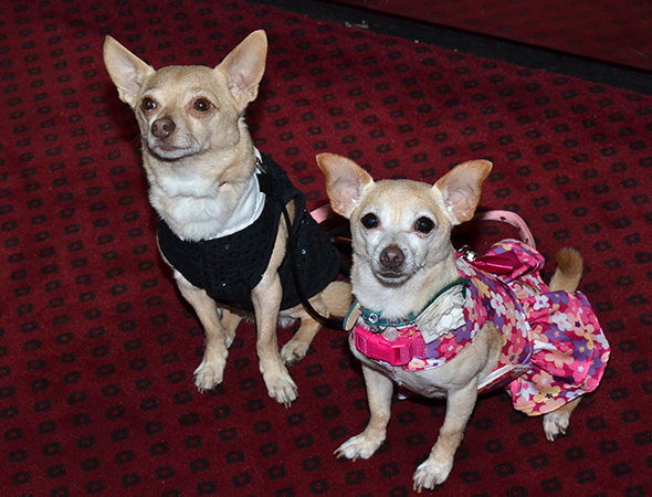 <p><em>Lady Day</em> costar Roxie (right) walks the red carpet with her beau, <em>Legally Blonde</em>&#39&#x3B;s Chico.</p><br />(© David Gordon)