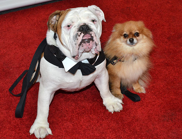 <p>Trixie (right), who appears in <em>Bullets Over Broadway</em> as Mr. Woofles, walks the carpet with her significant other, Romeo (from off-Broadway&#39&#x3B;s <em>The Threepenny Opera</em>).</p><br />(© David Gordon)