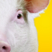 Urinetown writer returns to St James with Pig Farm