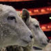 Meet the Royal Opera House's cast of sheep